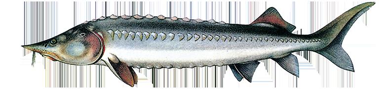 Beluga (Hausen), Acipenser huso huso